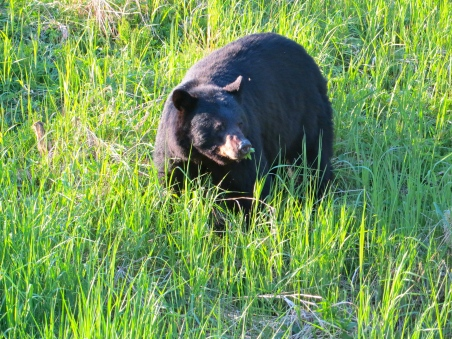 Black mama bear (saw her cubs in a nearby tree) near Mendenhall Glacier