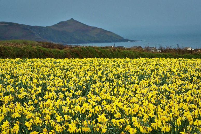 Daffodils for my grandfather. Photo credit: Wikipedia