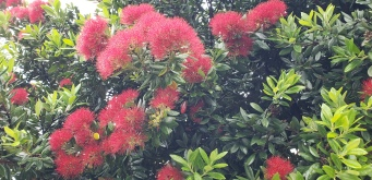 Pahutakawa Tree (the NZ Christmas tree)